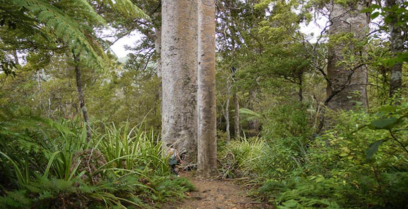 Track vigilance needed in kauri dieback fight