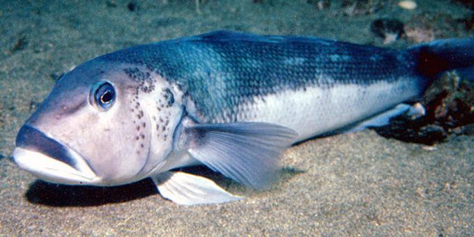 Blue cod bred in captivity