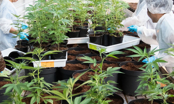 Cannabis reform will see Māori communities irie
