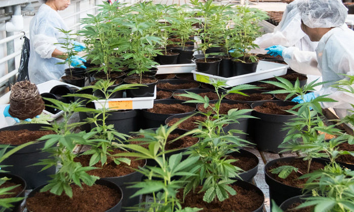Cannabis Bill tackles bias in system