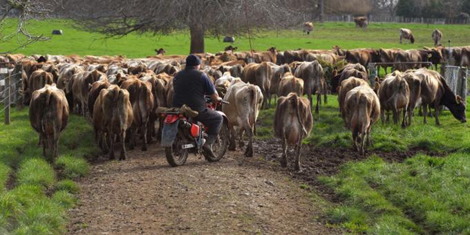 Maori farms on watch as bovis cull starts