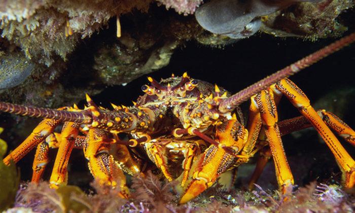 Crayfish collapse threatening Hauraki Gulf
