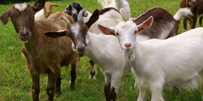 Dairy goats could flourish on small blocks
