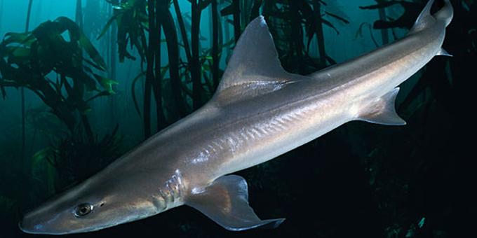 Shark livers strength of Kawhia Kai Fest