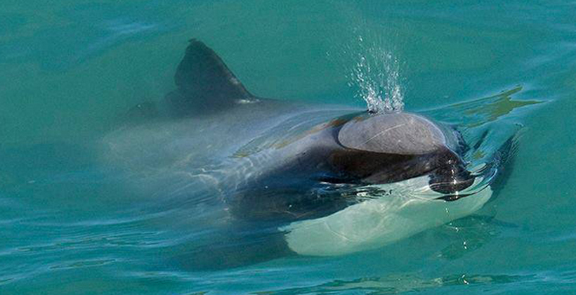 Te Tau Ihu sounding board for protected species app