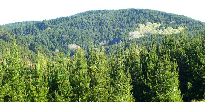 Ngati Hine Forests debt free but planting for future