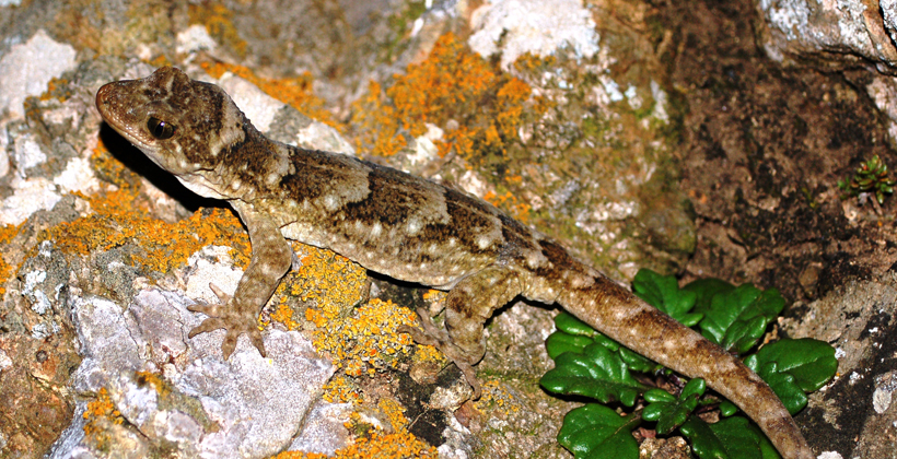 Rawhiti hapu help giant gecko revival