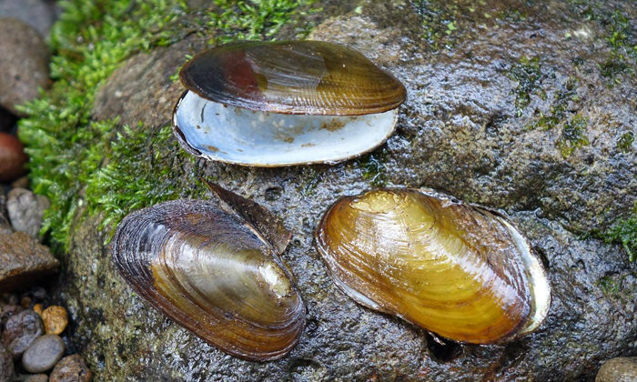 Trout predation threat to mussel population