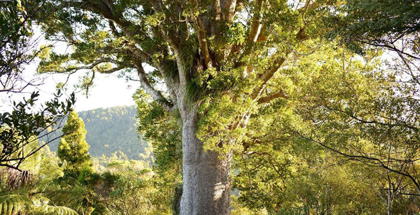 Shift from MPI would boost kauri recovery efforts