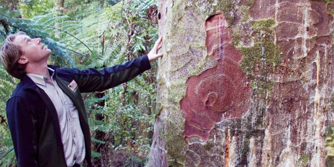 Government urged to keep up kauri research