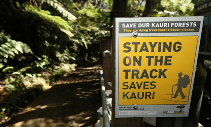 More money to tackle kauri dieback