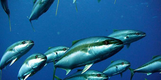 Kingfish stars of Northland aquaculture plan