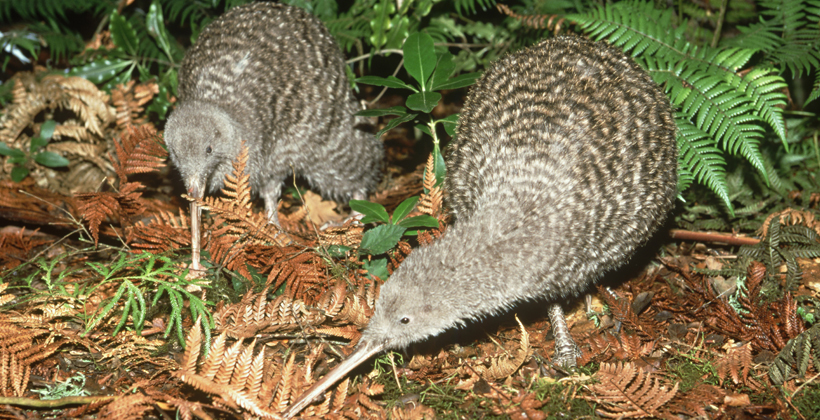 Software helps iwi track kiwi recovery
