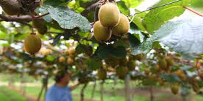 Kiwifruit bonanza plan for Te Kaha