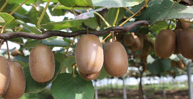 Kiwifruit growers struggling for pickers