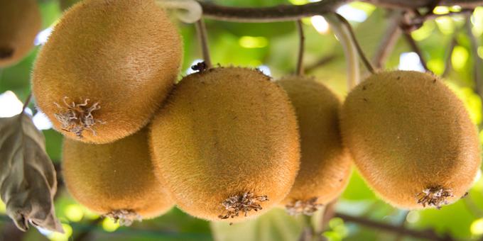 Iwi invest big in kiwifruit