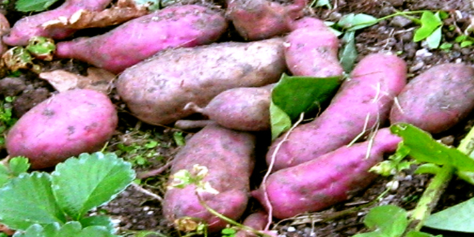Root crops meant winter survival