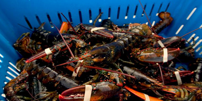 New plant triples lobster export capacity