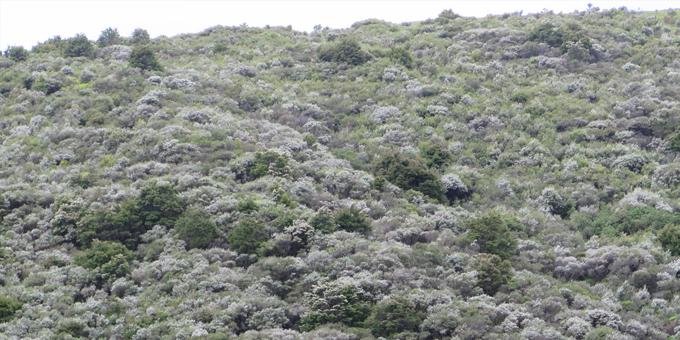 Boost for manuka planting