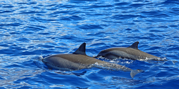 Tribunal can't save Maui's dolphins