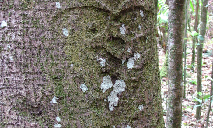 Moriori try to save remaining tree carvings