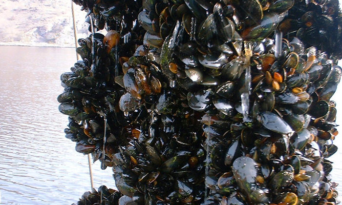 Green light for mussel spat farm