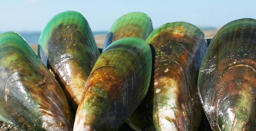 Te Whanau a Apanui mussels up