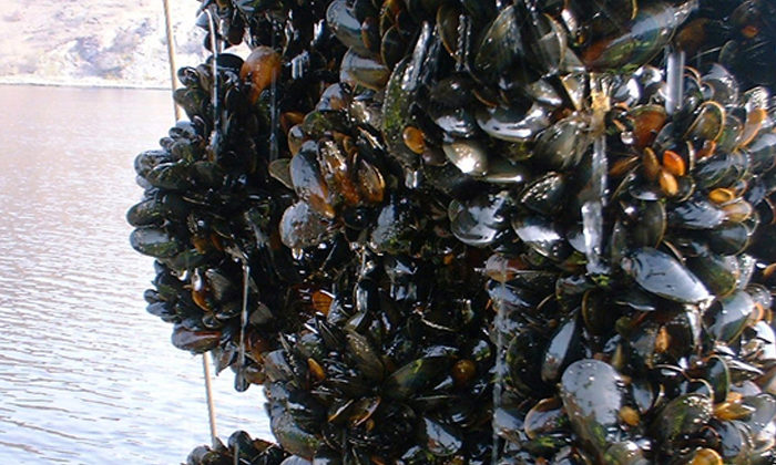 Green light for blue mussel plant