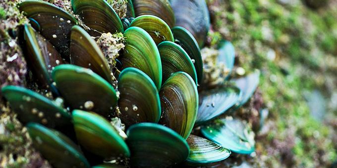 Mussels to restore Okahu Bay mauri