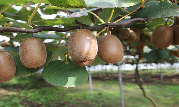 Ngati Hine Forests seeks gold in kiwifruit