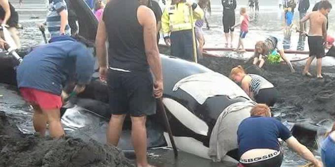 Patea rallies for orca stranding