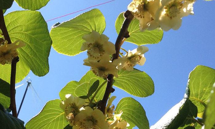 Tapsell challenge put whanau on path to kiwifruit gold