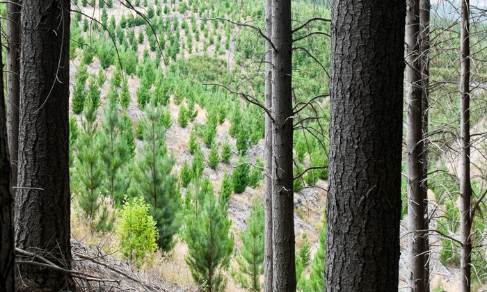 Fungus could be answer to wilding pines
