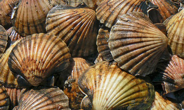 Scallop season target for rahui support