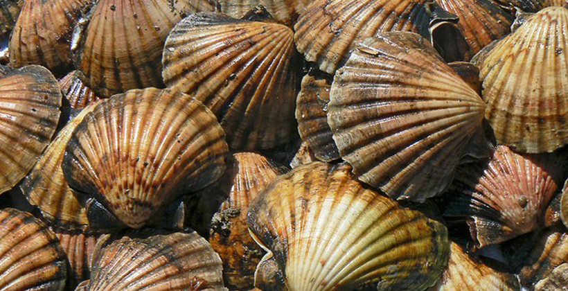 Whaingaroa Harbour off limits for scallops