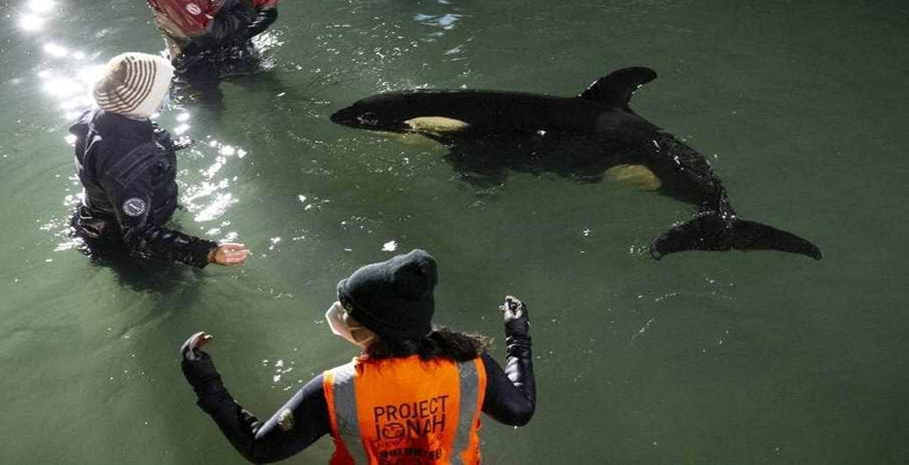 Baby orca gets MP mirimiri