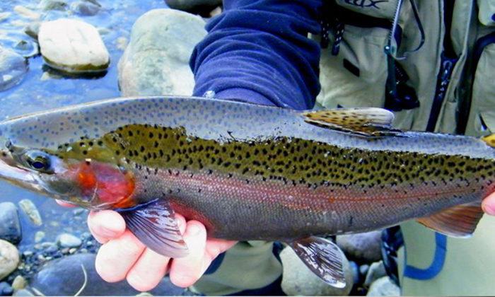 Anglers keen to block Maori trout farms