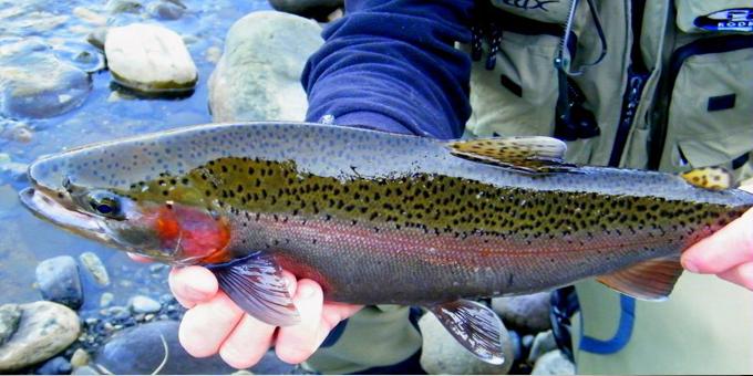 Tuwharetoa backs Taupo trout reduction