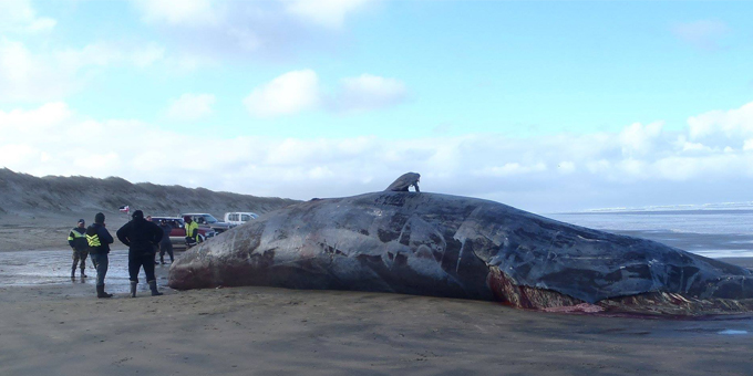 Muriwhenua whale harvest