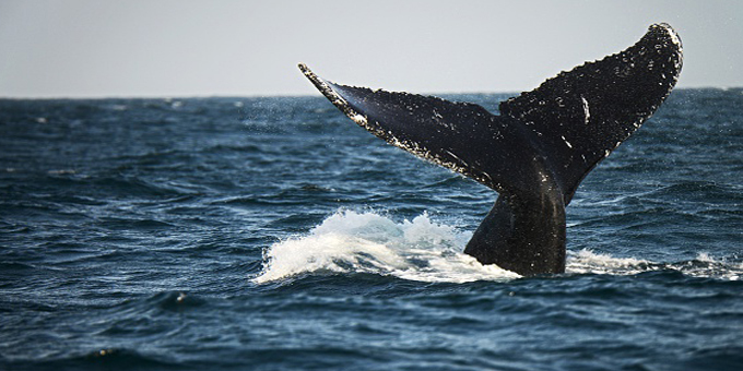 Whale sanctuary at risk from sand miners